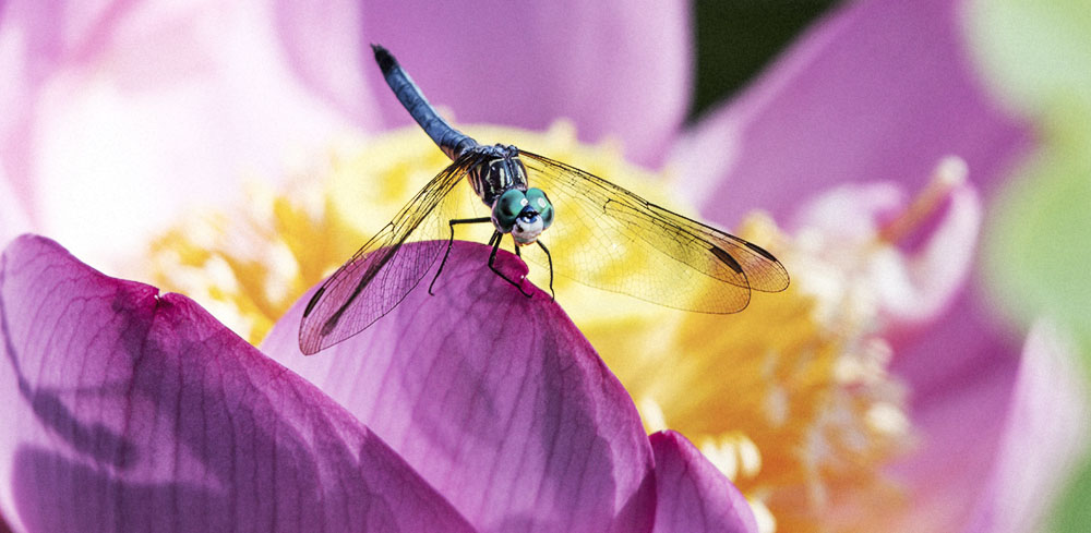 Plants to attract Dragonflies